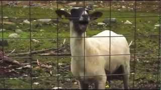 PSY - Gangnam Style (Goat Edition) HD!