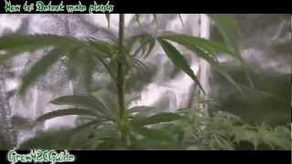 Tutorial: Detecting Male Cannabis Plants