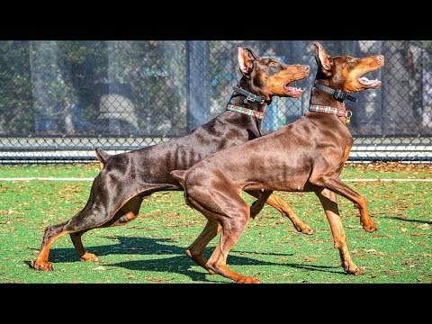 BEST OF DOBERMAN - THE MOST AMAZING DOG