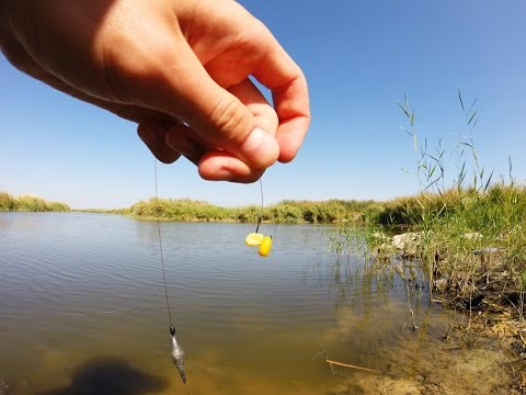 ловля карпа на консервированную кукурузу
