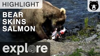 Bear Skins a Salmon as a Bird Waits for its Leftovers - Live Cam Highlight thumbnail