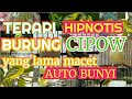 Suara Pancingan Burung Cipoh Macet Bunyi  Mp3 - Mp4 Download