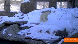 Dog Named Elvis Trained To Detect Pregnancies In Polar Bears