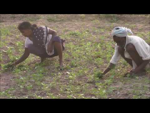 Sesame Seeds Cultivation in Natural Farming Method_DoAg&DigitalGreen