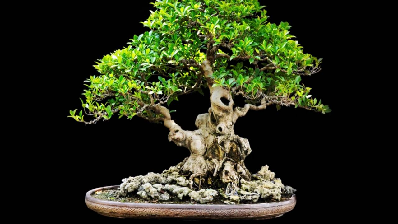 Bonsai Meaning Various Interpretations Youtube