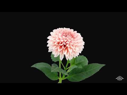 Dahlia Video | Flowers name for kids