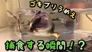 バジェットガエルがゴキブリを捕食する瞬間【スローモーション】