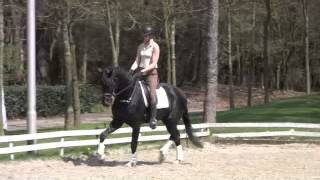 Fifty Shades of Black 3yrs 20 times under saddle