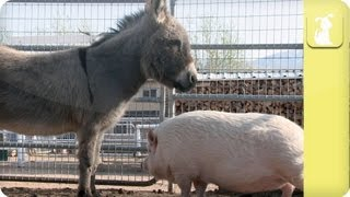 Will a pig fit in my family - My Pet Pig