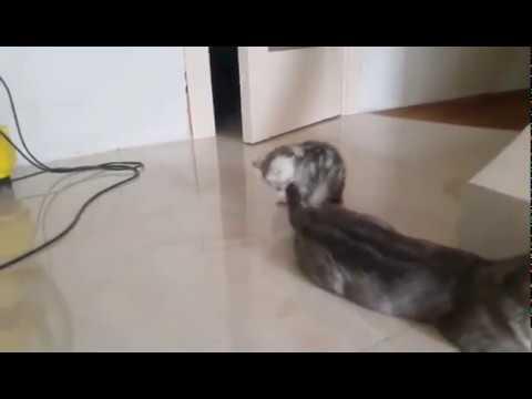 Веселый игруля! Британский котенок черный мрамор на серебре Бакс
