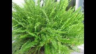 CARE FOR BOSTON FERN !!!