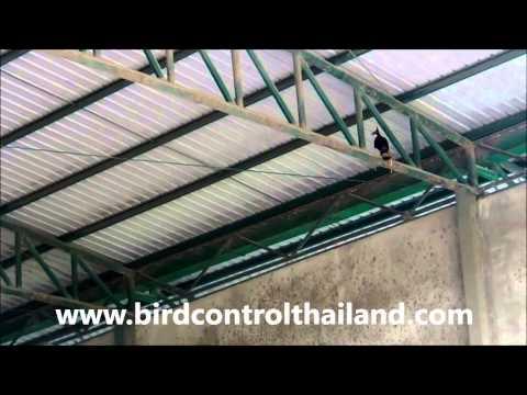 การใช้เหยี่ยวไล่นกในโกดัง หรือ พื้นที่จำกัด by birdcontrol(Thailand)