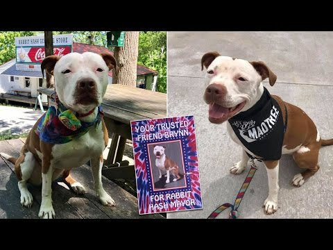 Thumbnail: Town Elects Pit Bull as Mayor to Replace Border Collie Named Lucy Lou