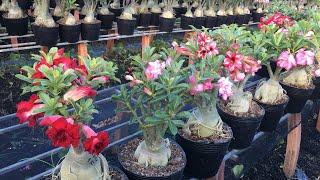 Đã bán 🌈 Tối 14/4 - Lô 31 cây hoa sứ thái đẹp. Liên hệ: 070.2727.998 Trung Lê