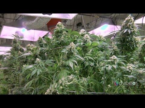 Así es el cultivo legal de marihuana en Denver, Colorado -- Exclusivo Online