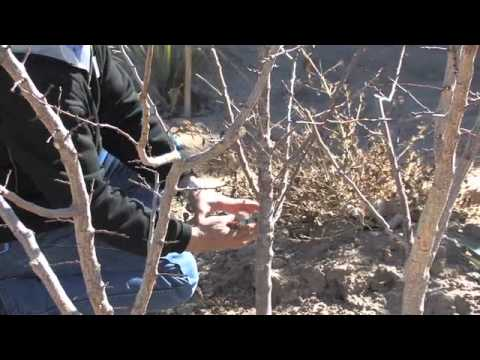 Apricot Tree Pruning Youtube