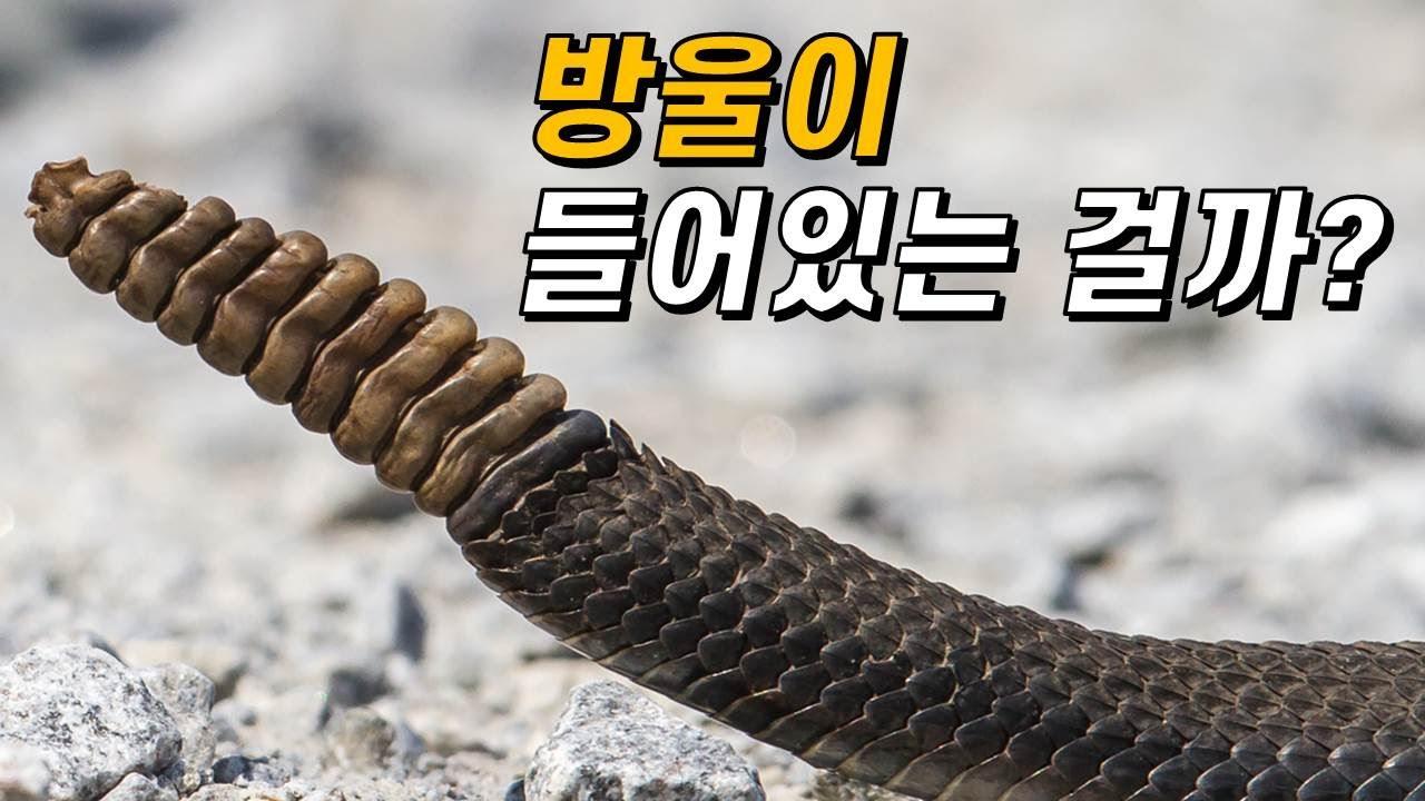 방울뱀의 꼬리 속에는 뭐가 들어있길래, 흔들면 소리가 날까?