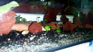 Брачная песня, самец поёт. Лягушка африканская карликовая водная (Hymenochirus boettgeri) когтеносец