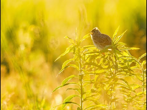Canon 5D Mark IV + Sigma 150-600 OS Sport: Lark, European Crane, Whinchat (4K Sample Video)