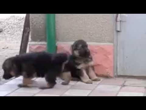 German Shepherd puppies for sale in noida ,9999039993 , pet market in noida  olx quikr Amazon justdia