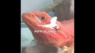 Agama vousatá / Extreme RED  / proměna /AGAMKY.EU - Sexy strip - transformation - Bearded dragon