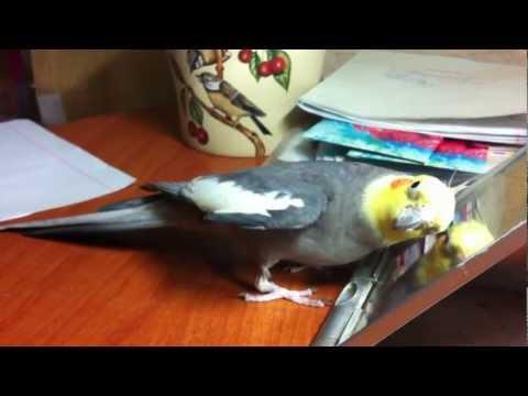Как поют попугаи карелы