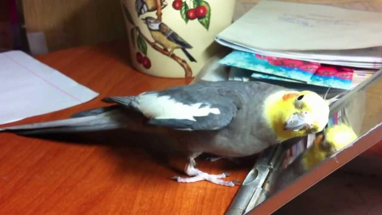 Ваша любовь, внимание и качественный уход. Средства для последнего вы всегда можете найти в разделе нашего каталога «товары для попугаев».
