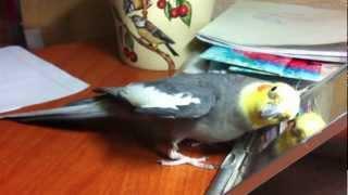 Как поет попугай корелла(Прежде чем купить домой эту зверушку, подумайте - все ли в доме выдержат ее пение? :), 2013-01-27T17:34:29.000Z)
