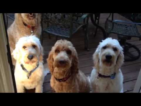 Well Trained Goldendoodles