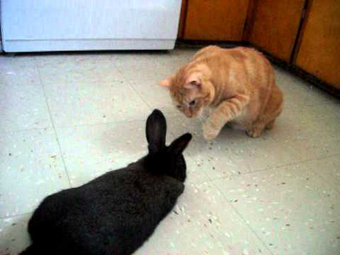 Thumbnail for Cat Video Cat meeting a bunny