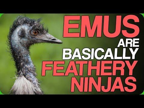 Emus Are Basically Feathery Ninjas (Levelled Up And Hybrid Animals)