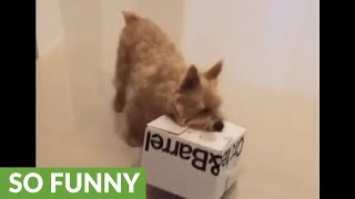 Puppy is totally crazy about his box