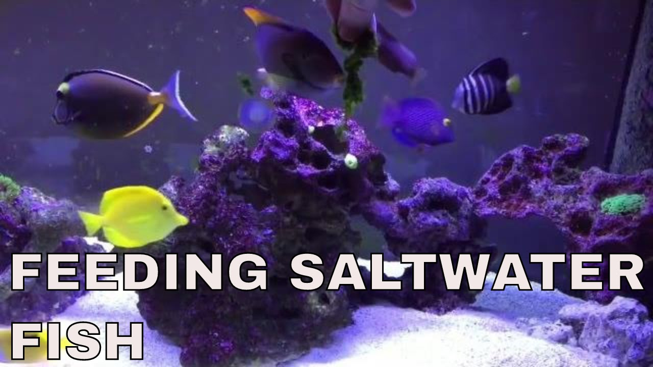 feeding saltwater fish tang fish in 125 gallon saltwater aquarium