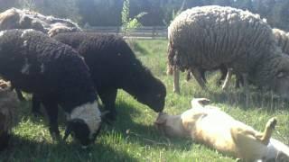 Собаки пастухи-приколы и неудачи