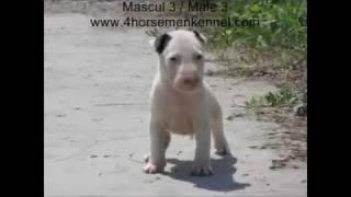 Pui Bullterrier De Vanzare !!! Bull Terrier Puppies For Sale !!!  Canisa Four Horsemen Kennel