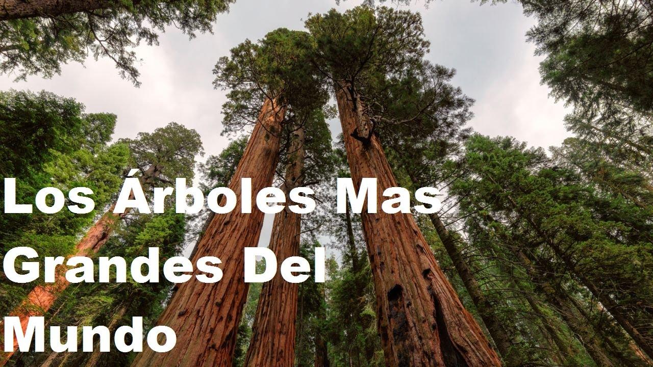 Los rboles mas grandes del mundo youtube for Arbol mas grande del mundo