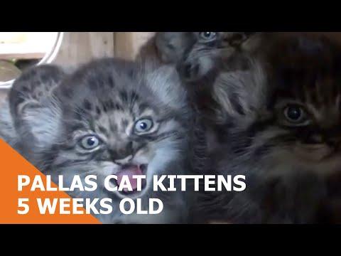 WHF Pallas Cat Kittens  very cute at just 5 weeks old