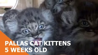 WHF Pallas Cat Kittens - very cute at just 5 weeks old