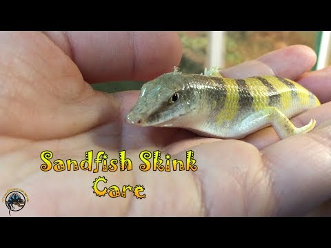 How To Take Care Of A Sandfish Skink!