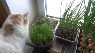 Зелёные витамины зимой.Свежая зелень на окне.Овёс для кошек,лук,чеснок-для Вас!