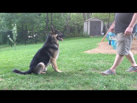 Marker Training with a German Shepherd Dog