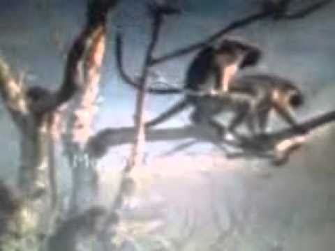 shona sex monkeys thumbnail