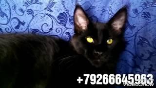 Котик 3,5месяца мейн-кун продажа Москва