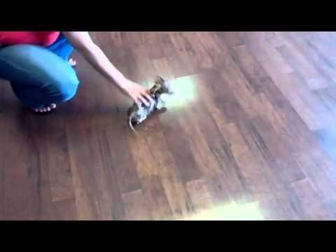 Wiener Dog Puppy Runs