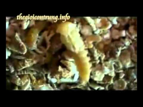 Kỹ thuật nuôi mealworm - www.thegioicontrung.info