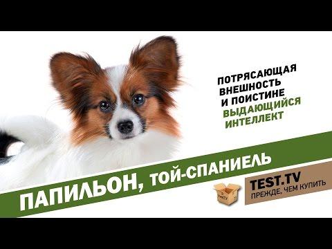 TEST.TV: Папильон-собака бабочка.