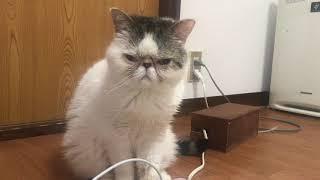 目ヤニ治療中でスッキリ顔のブサカワ猫