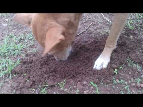 Dog eating soil