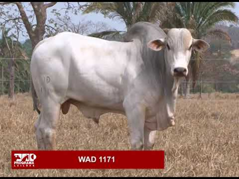 LOTE 01 - WAD 1171