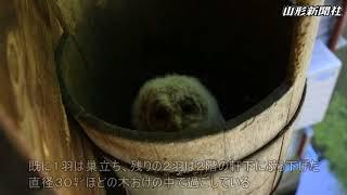 鮭川村川口の農家柴田悦郎さん(68)方の軒下にあるおけの中で、野生フ...
